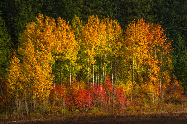 A Stand Of Autumn Trees In Late Light - Leavenworth, Central Washington, WA