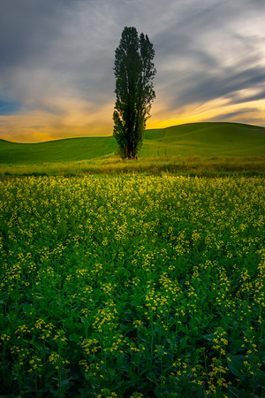 Standing Tall and Proud In The Canola - Ladow Butte Barn, Palouse, WA