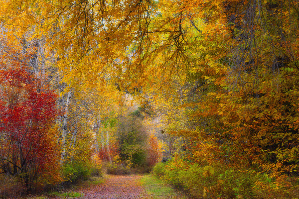 Underneath The Autumn Canopy - Methow Valley, Washington State