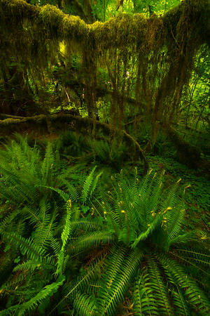 Hanging Moss Inside The Hoh