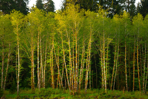 White Alders In Morning Light Along The Hoh River - Hoh River, Olympic National Park, WA