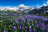 Lupines In The Valley Below Mount Baker - Skyline Divide, Mount Baker Area, Washington