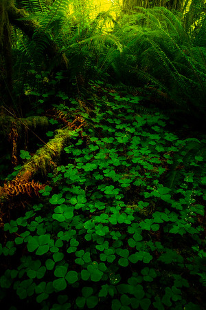 Clovers Galore On The Floor - Hoh Rain Forest, Olympic National Park, WA