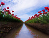 Converging Reflections Of Tulips - Skagit Valley Tulip Fields, Mt. Vernon, Washington