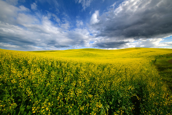 Rolling Clouds Over The Canola Fields - The Palouse Region, Washington