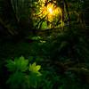 Spotlight On The Hoh Foliage - Hoh Rainforest, Olympic National Park, WA