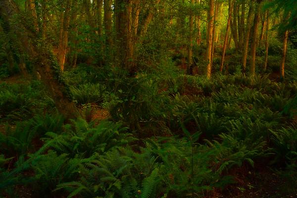 Golden Light Casting Into The Vashon Forest
