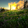 Glory Of Light Over The Asters - Silver Forest Trail, Mt Rainier NP, WA