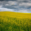 Canola Rolling Hills In Palouse - The Palouse Region, Washington