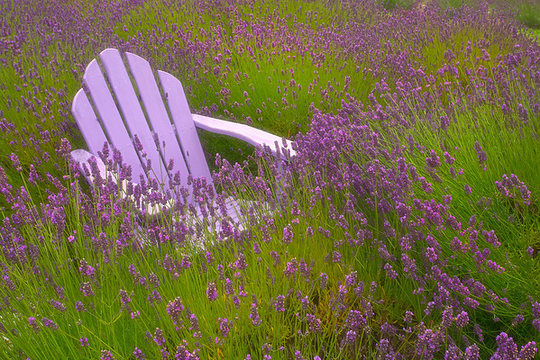 Contemplation - Lavender Festival, Sequim, Washington