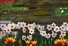 A Bit Of Old And New - Skagit Valley Tulip Fields, Mt. Vernon, Washington