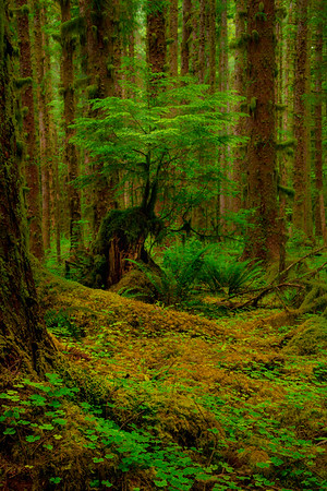 Stand Out In The Crowd - Black Forest, Olympic National Park, WA