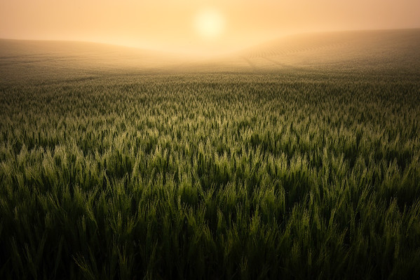Sun Peaking Through Fog And Early Morning Dew - Danielson Road, Genesee, Palouse, Idaho