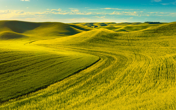 Canola Bumps In Distance Barbee Road, Off Hgy 195, Pullman, Palouse, WA