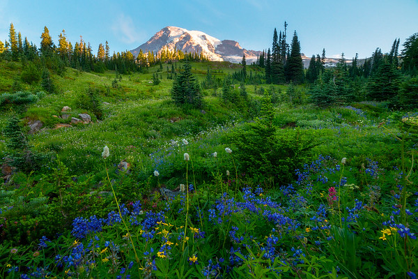 A Touch Of Blue And Yellow In Meadow - Dead Horse Creek Trail, Mt Rainier NP, WA
