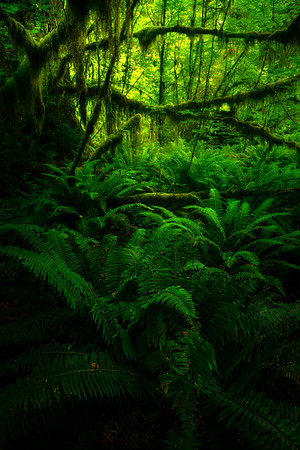 Jurrasic Forest - Hoh Rain Forest, Olympic National Park, WA
