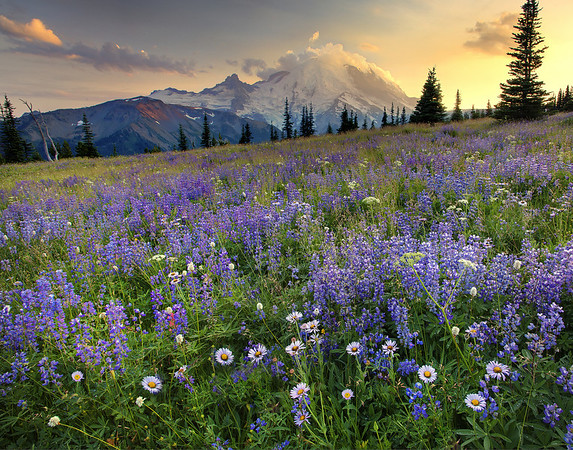 Purple Fields Galore - Emmons Glacier - Mount Rainier National Park, Washington