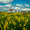 Point Wilson Lighthouse And Bright Yellow Lupine - Point Wilson Lighthouse, Fort Worden State Park, WA