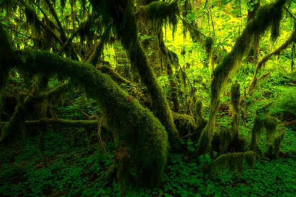 Fan Out From The Bottom - Hoh Rain Forest, Olympic National Park, WA