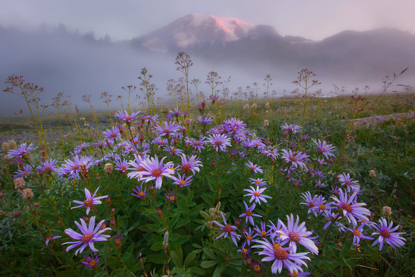 Aster Madness - Paradise Meadow - Mount Rainer National Park, Washington