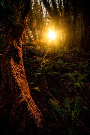 Sunburst Through Forest Trees - Shi Shi Beach, Point Of Arches, Olympic National Park, Washington
