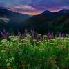 Morning Fireweed Overlooking The Pass - Cayuse Pass, Mt Rainier NP, WA