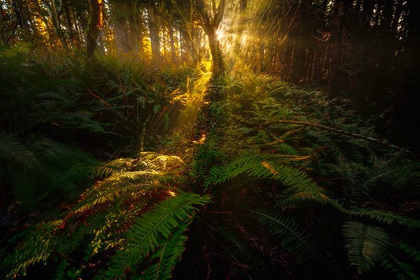 Early Morning Mist In Olympic National Forest - Shi Shi Beach, Point Of Arches, Olympic National Park, Washington