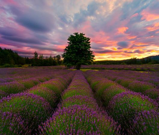 Sunset Rows - Pelindaba Lavender Farm, San Juan Islands, WA