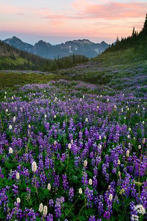 Valley Base Of Lupine - Van Trump Park, Mount Rainier National Park, Washington St.