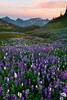 Valley Base Of Lupine - Van Trump Park, Mount Rainier National Park, Washington St.