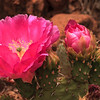 Zion: Prickly Pear flowers
