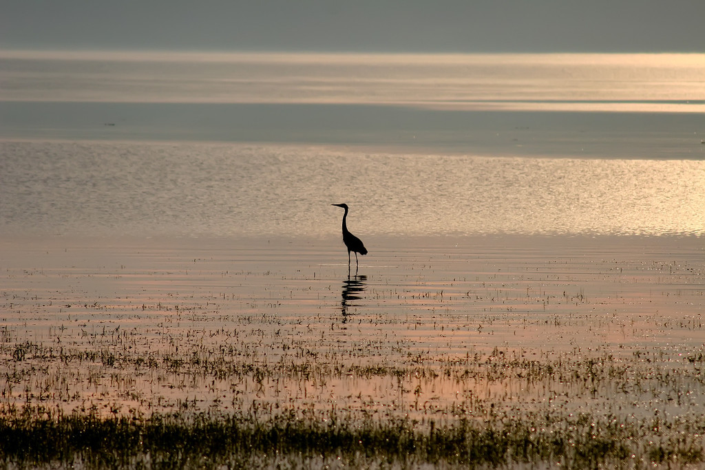 A Blue Heron fishes at the south end of Keweenaw Bay.