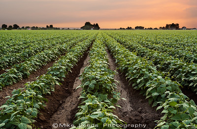 Bean Field in Canyon County Idaho under a smoky Summer Sky.