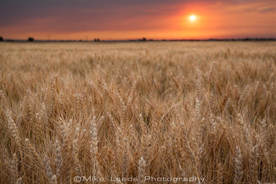 Wheat ield in Canyon County under a smoky summer sky