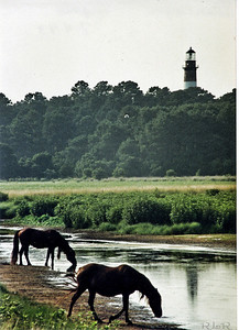 Wild horses at Chincoteaque 1993
