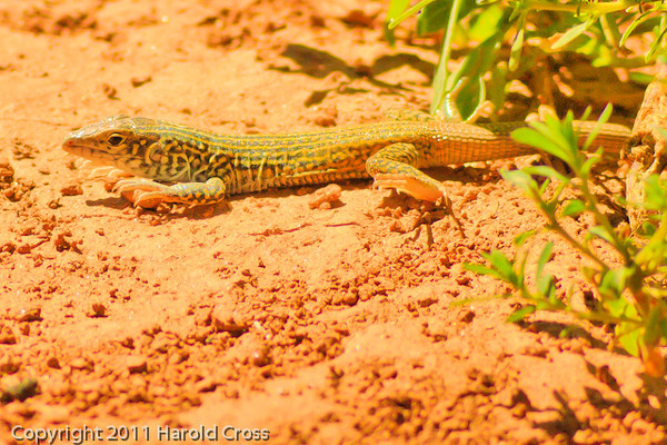 A Lizard taken Aug. 26, 2011 at  Arches National Park near Moab, Utah.  I think this is a Tiger Whiptail.