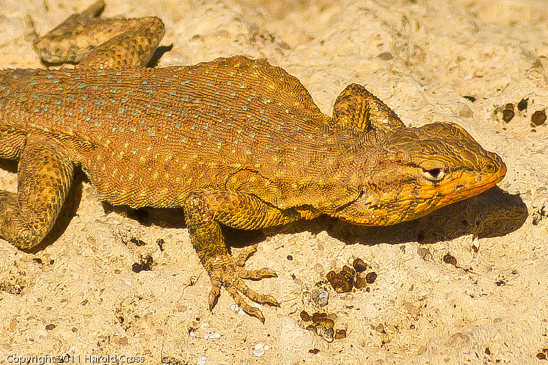 A lizard taken June 7, 2011 near Green River, UT.  This appears to be a Common Side-blotched Lizard.
