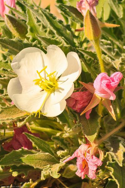 A wildflower taken June 7, 2011 near Green River, UT.
