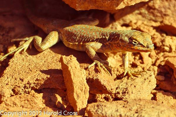 A Lizard taken Mar. 31, 2012 in Canyonlands National Park near Moab, UT.
