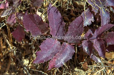 Bryce National Park, Queen's Garden Trail, purple holly