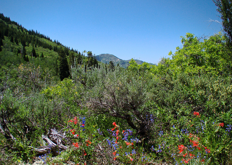 Wildfowers in the View: Wildflowers from the Uinta and Wastach mountains of Utah