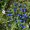 Penstimon: Wildflowers from the Uinta and Wastach mountains of Utah