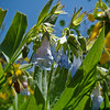 Franciscan Bluebells: Wildflowers from the Uinta and Wastach mountains of Utah