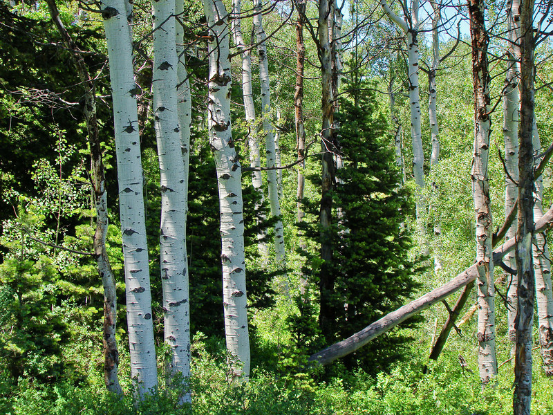 Aspen and Fur: Trees from the Uinta and Wastach mountains of Utah