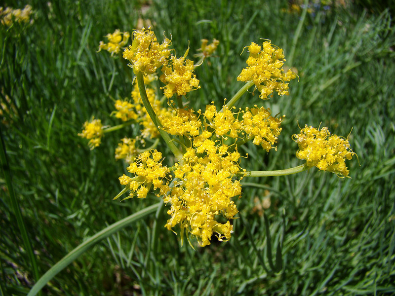 Milfoil Biscuitroot: Wildflowers from the Uinta and Wastach mountains of Utah