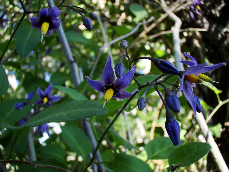 Deadly Nightshade in Shadow: Wildflowers from the Uinta and Wastach mountains of Utah