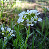 Wildflowers from the Uinta and Wastach mountains of Utah