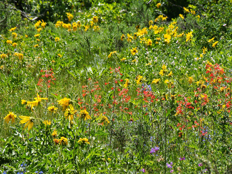 Wildflower Meadow: Wildflowers from the Uinta and Wastach mountains of Utah