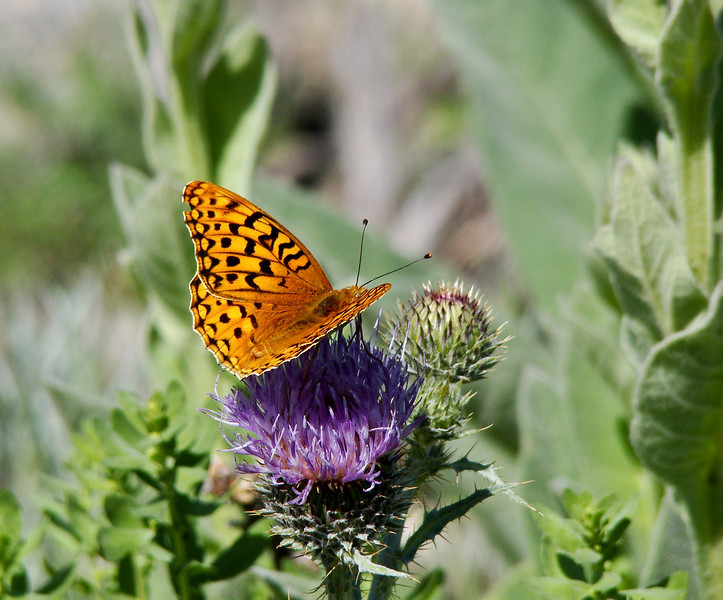 Fritillary on Thistle: Wildflowers from the Uinta and Wastach mountains of Utah