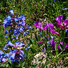 Penstimon and Vetch: Wildflowers from the Uinta and Wastach mountains of Utah